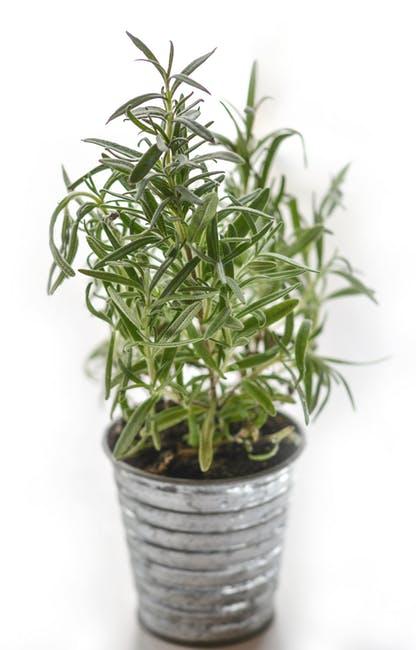 plantas resistentes al frío y al calor Romero